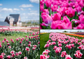selective focus of house and pink tulips in field, collage