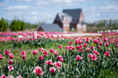 selective focus of house and pink tulips in field