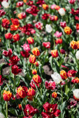 Photo selective focus of beautiful colorful tulips with green leaves in sunlight