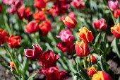 selective focus of beautiful colorful tulips with green leaves in sunlight
