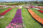 krásné barevné tulipány pole se zelenou trávou