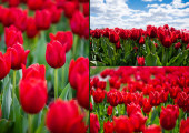 Photo collage of colorful red tulips field with blue sky and clouds