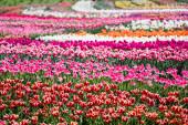 Fotografie selektivní zaměření krásné barevné tulipány rostoucí v terénu