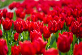szelektív fókusz színes piros tulipán zöld levelek