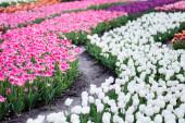 Fotografie selektivní zaměření kvetoucího barevného tulipánového pole