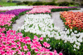 selective focus of blooming colorful tulips field