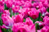 selektivní zaměření krásné růžové barevné tulipány