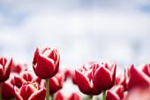 selektivní zaměření barevných červených tulipánů v poli