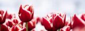 selektivní zaměření barevných červených tulipánů v terénu, panoramatický záběr
