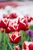 selective focus of red and white colorful tulips field