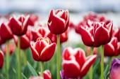 selektivní zaměření červených a bílých barevných tulipánů