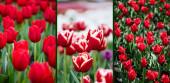selektivní zaměření červených barevných tulipánů pole, koláž