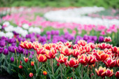beautiful blooming colorful tulips field