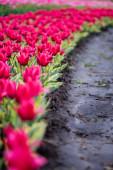 gyönyörű virágzó színes rózsaszín tulipán mező földdel