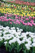 selektivní zaměření krásné kvetoucí barevné tulipány pole
