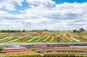 barevné tulipánové pole s modrou oblohou a mraky