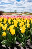 selektivní zaměření pole se žlutými barevnými tulipány