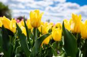 barevné žluté tulipány proti modré obloze a mrakům