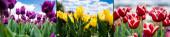 koláž barevných červených, žlutých a fialových tulipánů proti modré obloze a mrakům, panoramatický záběr