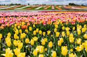 selektivní zaměření barevného pole tulipánů