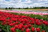 szelektív fókusz színes tulipán mező kék ég és a felhők