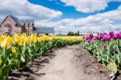 selective focus of yellow and purple tulips field with path and house