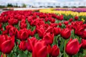 Fotografie selektivní zaměření červené barevné tulipány rostoucí v terénu