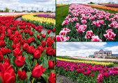 selective focus of colorful tulips field and house, collage