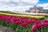szelektív fókusz színes tulipán mező és ház