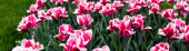 krásné růžové barevné tulipány rostoucí na poli, panoramatický záběr