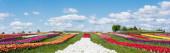 barevné tulipánové pole s modrou oblohou a mraky, panoramatický záběr