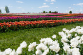 Fotografie selective focus of colorful tulips field with blue sky and clouds