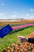 cropped view of man holding flag of Europe near colorful tulips field and blue sky with clouds