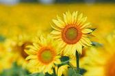 Magányos gyönyörű sárga napraforgó területén