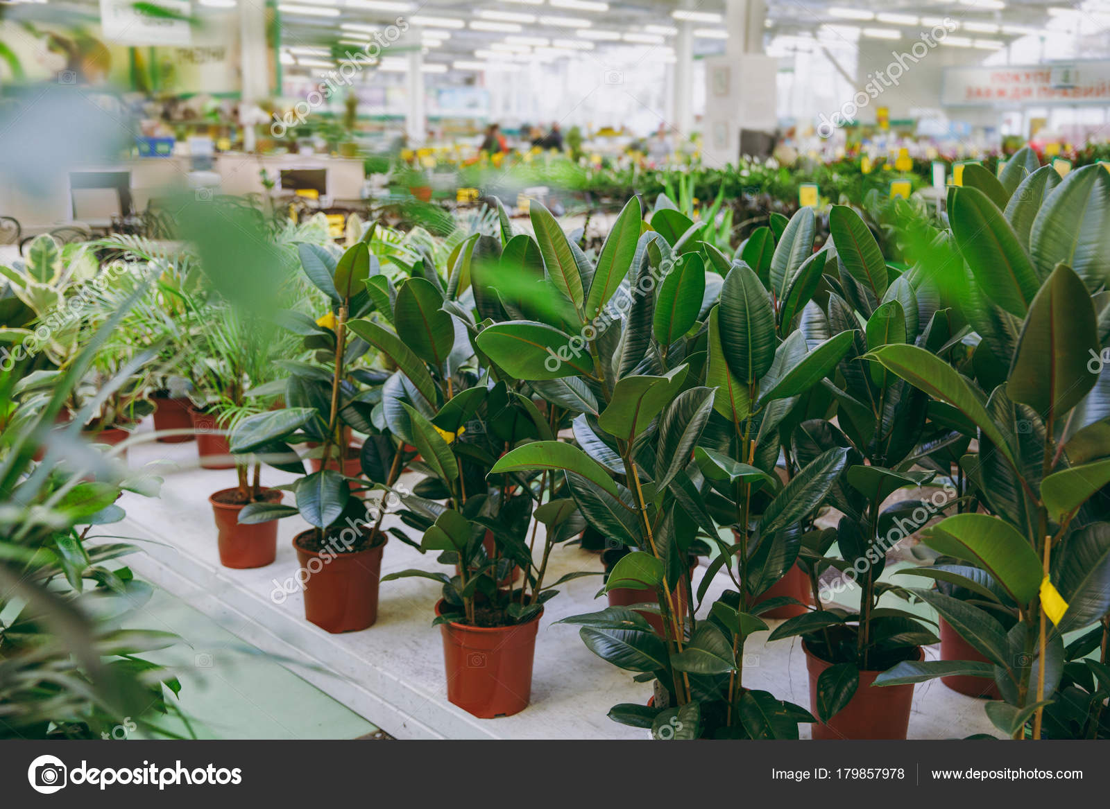 Beautiful House Plants Of Ficus Diffenbachia With Green Small And Big Leaves In Pots Close Up Shot Stock Photo Image By C Dmvasilenko 179857978