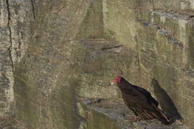 Turkey Vulture (Cathartes aura jota) on the cliffs of Bleaker Island in the Falkland Islands.