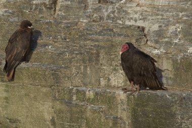Striated Caracara (Phalcoboenus australis) and a Turkey Vulture (Cathartes aura jota) share the cliffs on Bleaker Island in the Falkland Islands.