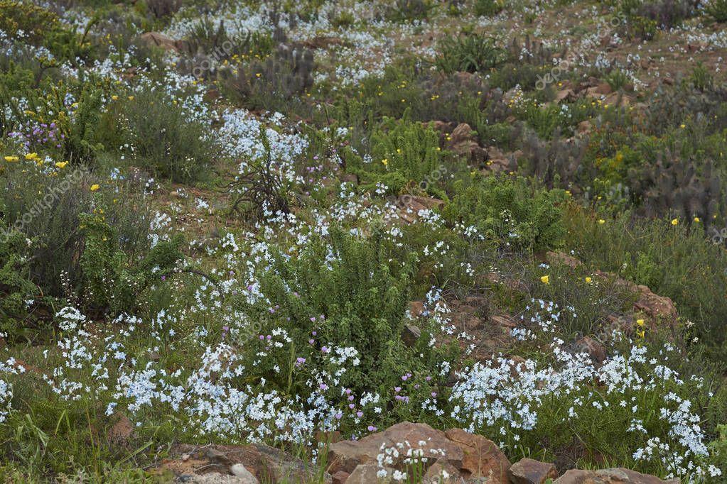 Flowers in the Atacama Desert