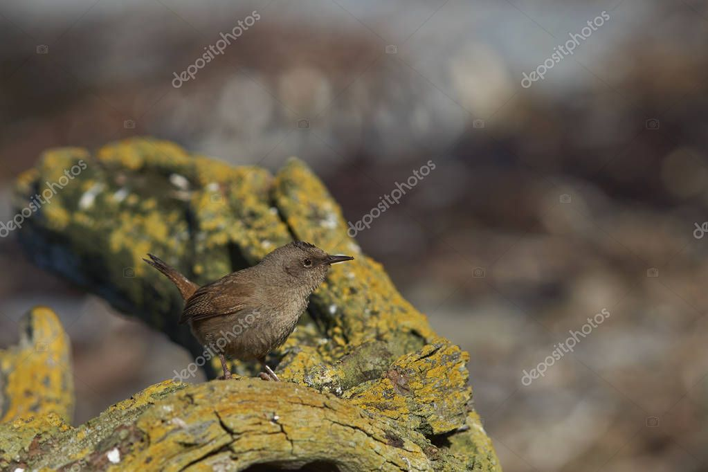Cobb's Wren (Troglodytes cobbi) on a lichen covered piece of wood on the coast of Sea Lion Island in the Falkland Islands