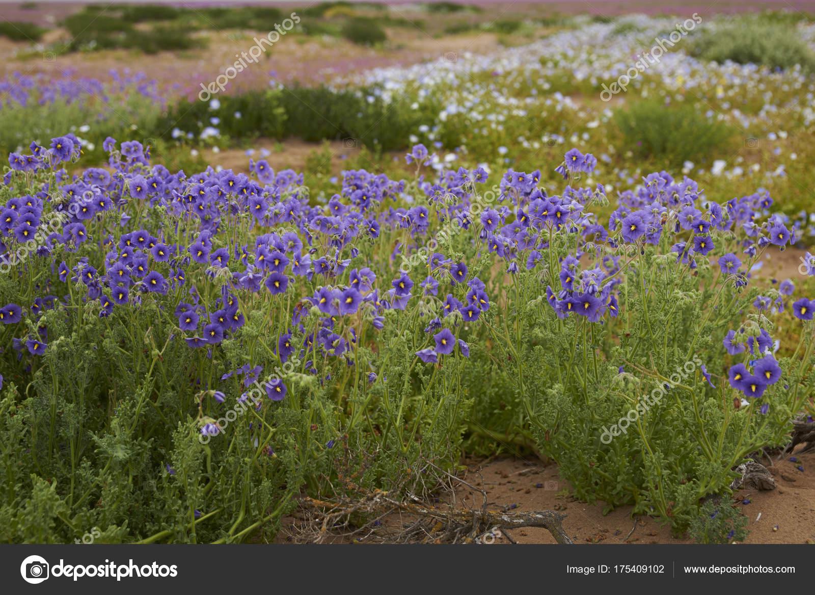 Flowers In Desert After Rain | Kayaflower.co on