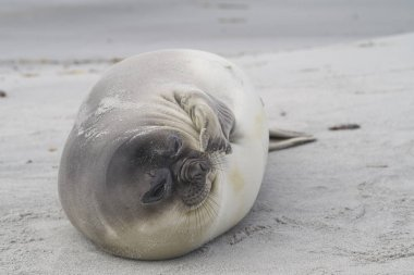Recently weaned Southern Elephant Seal pup (Mirounga leonina) on the coast of Sea Lion Island in the Falkland Islands.