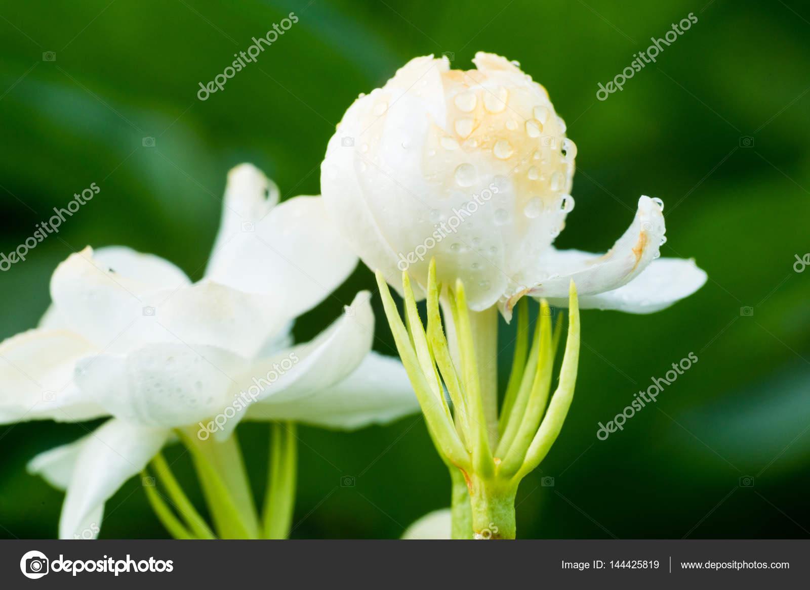 Bud Of Jasmine Flower Stock Photo Roseburn3djob 144425819