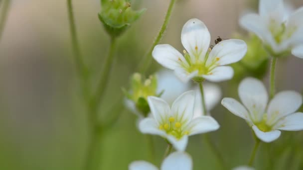 White small flowers and ant macro of an ant spring flowers of white small flowers and ant macro of an ant spring flowers of saxifrage mightylinksfo