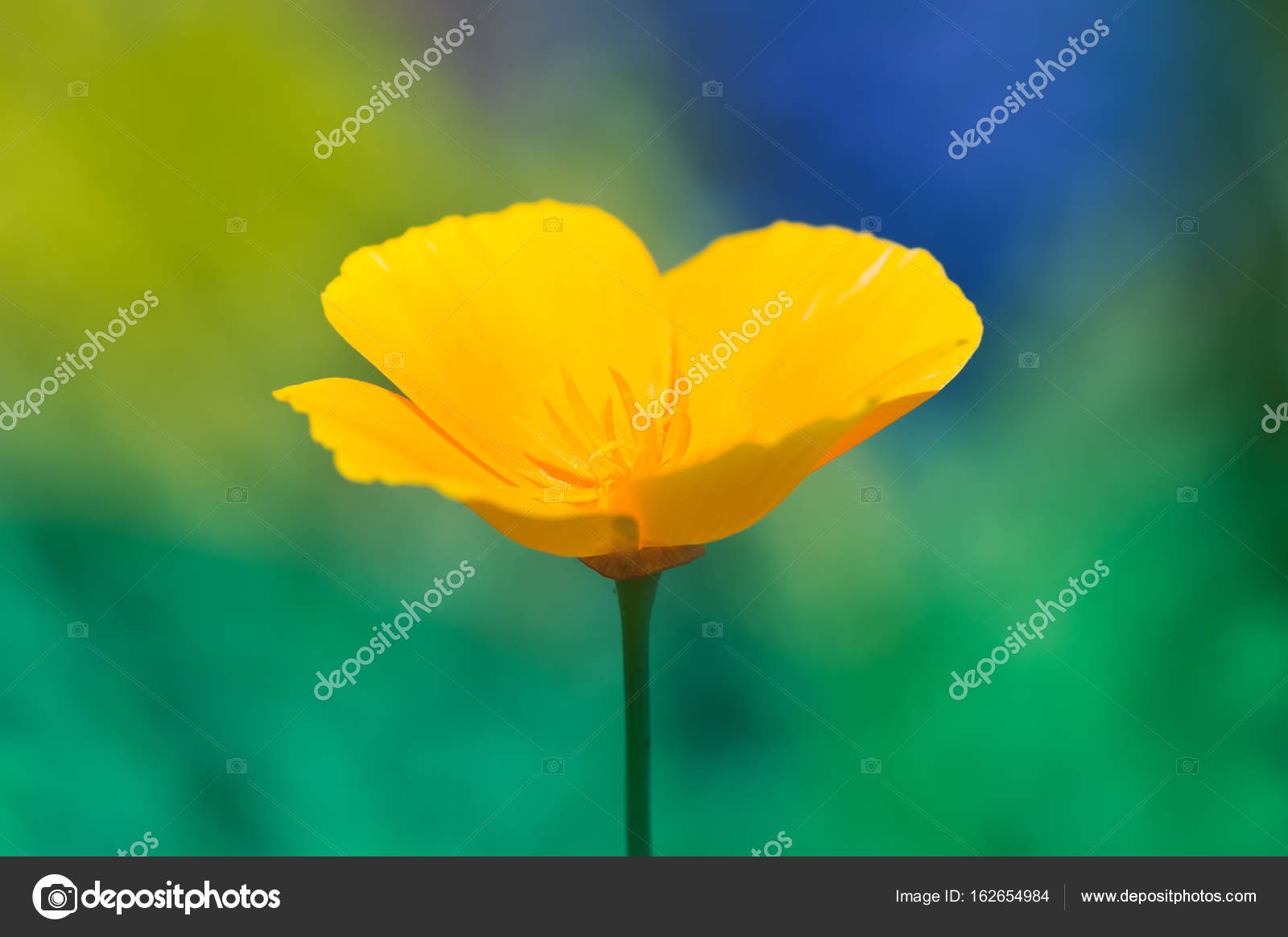 Lonely Yellow Poppy Flower On A Multi Colored Background Stock