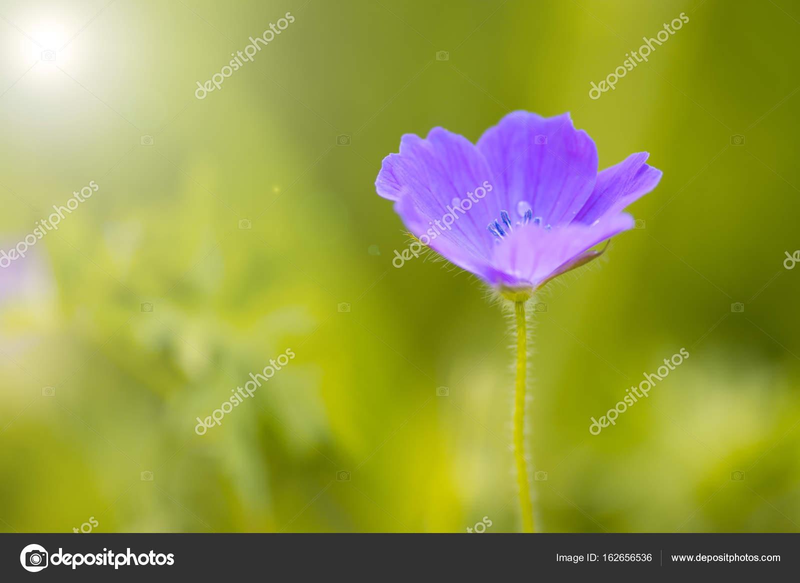 Une Petite Fleur Mauve Sur Un Fond Vert Dans Le Jardin