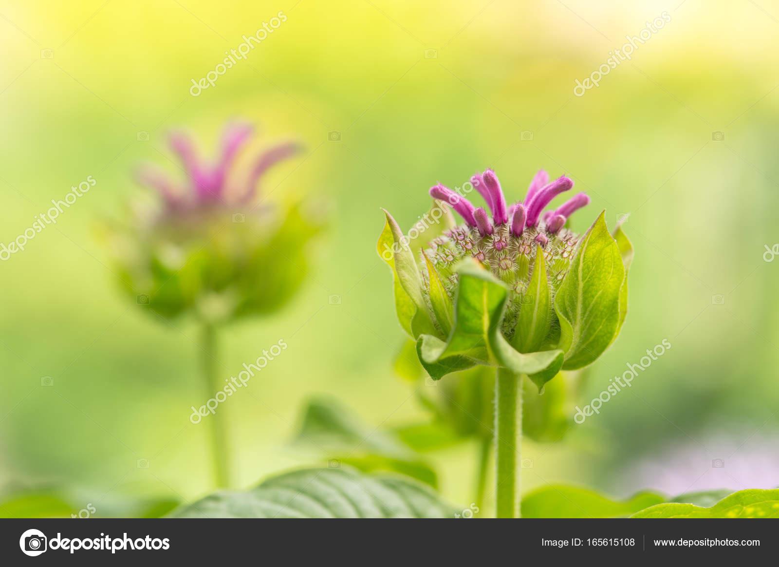 Beautiful unusual pink flowers on a green blurred background beautiful unusual pink flowers on a green blurred background selective soft focus stock photo izmirmasajfo