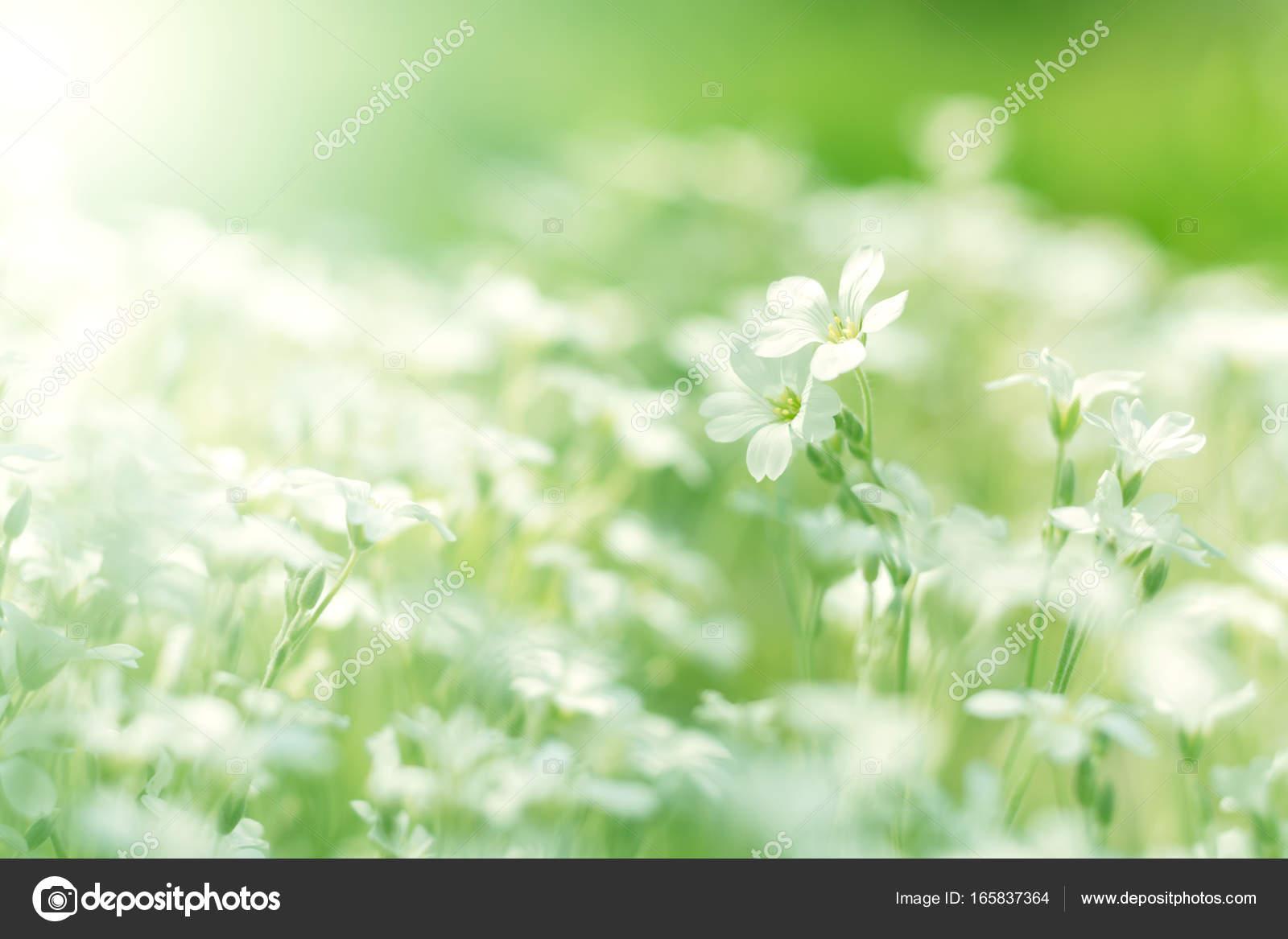 Little white flowers white field flowers in sunlight soft little white flowers white field flowers in sunlight soft selective focus stock mightylinksfo