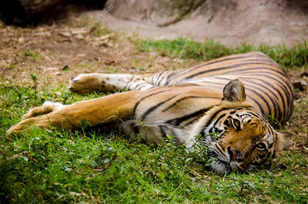 Lazy tiger resting on the grass