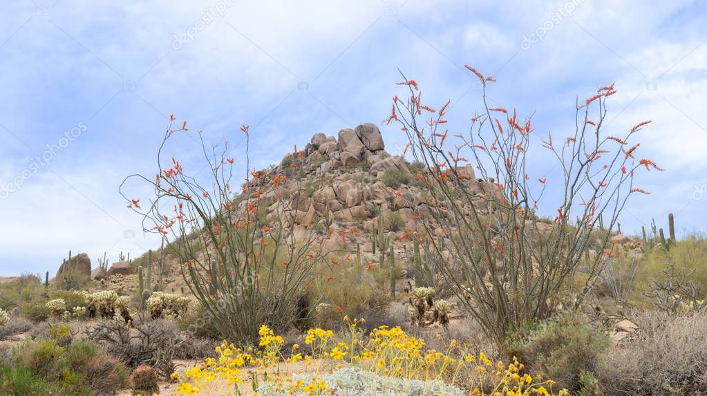 Arizona desert blooming in Spring time butte with wildflowers framed by Ocotillo located near Scottsdale.