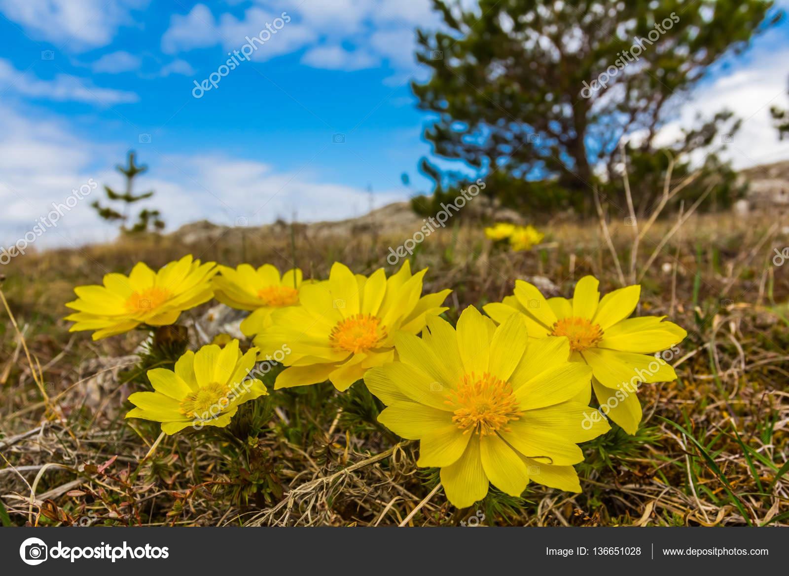 Closeup Yellow Prairie Flowers Stock Photo York76 136651028